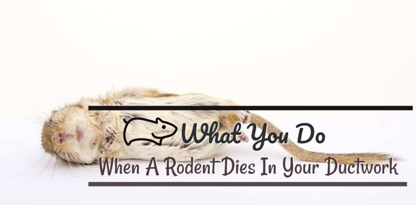 "Featured image of the blog title ""What You Do When A Rodent Dies In Your Ductwork"" with a background of dead rodent"