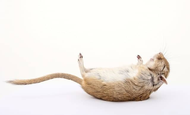 an image of a dead rodent with a white background