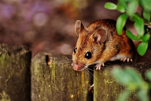 a mouse at the top of the wood one of the pest that can damage your ducts